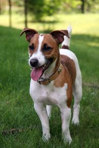 600px-Jack_Russell_Terrier_1